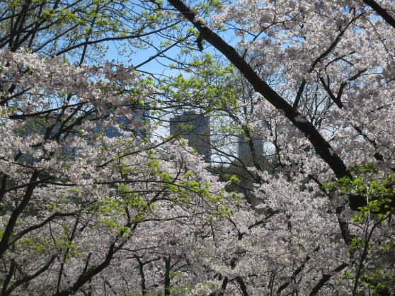 Queensway condos peer through cherry blossoms in High Park.